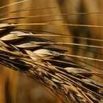 TMO Buğday
