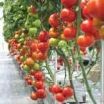 topraksız tarım domates