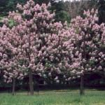 Paulownia (Pavlonya)