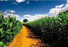 mısır tarlası