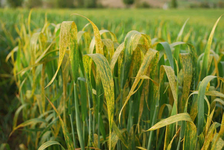 buğday pas hastalığı