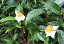 Çay bitkisinin genetik sırları ortaya çıkarıldı