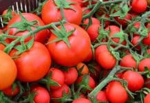 Domates üretimi iç talebi karşılayamıyorsa ihracat ötelenebilecek